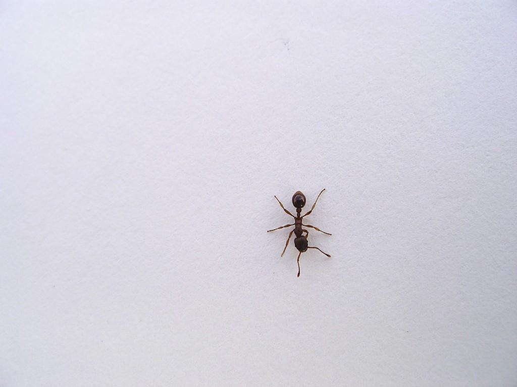 蟻 ant